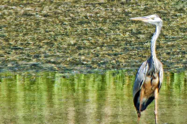 bird, Grey Heron
