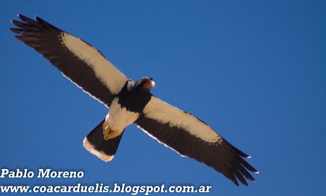 """alt=""""matamico andino,Phalcoboenus megalopterus,rapaces de Mendoza"""""""