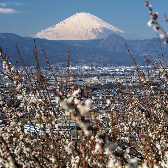 曽我梅林 富士山 見晴台