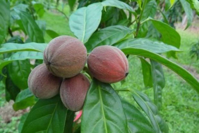 Blushwood Berries