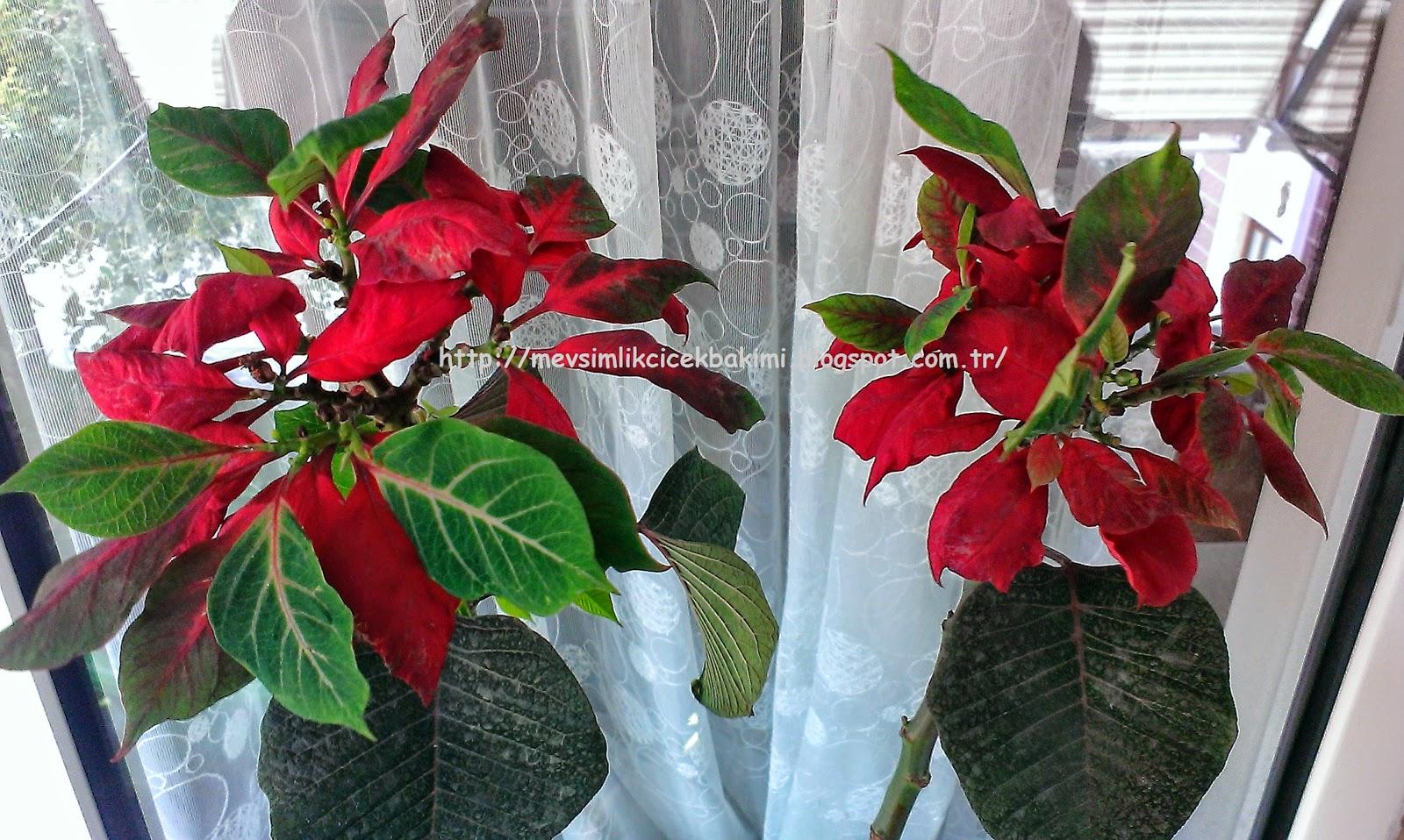 Noel yıldızı - çiçek Atatürk çiçeği