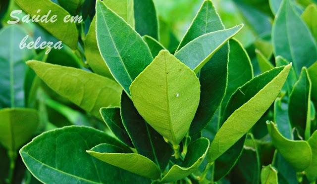 Benefícios das folhas de laranjeira