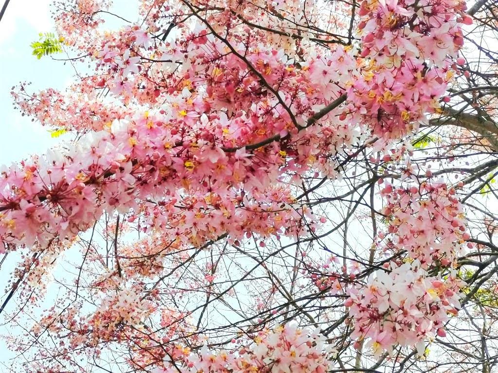 賞花打卡新熱點|南化區玉山寶光聖堂「花旗木」綻放中