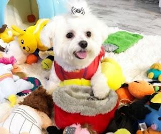 perro maltes jugando