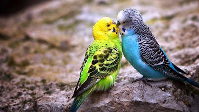 kissing parrot birds