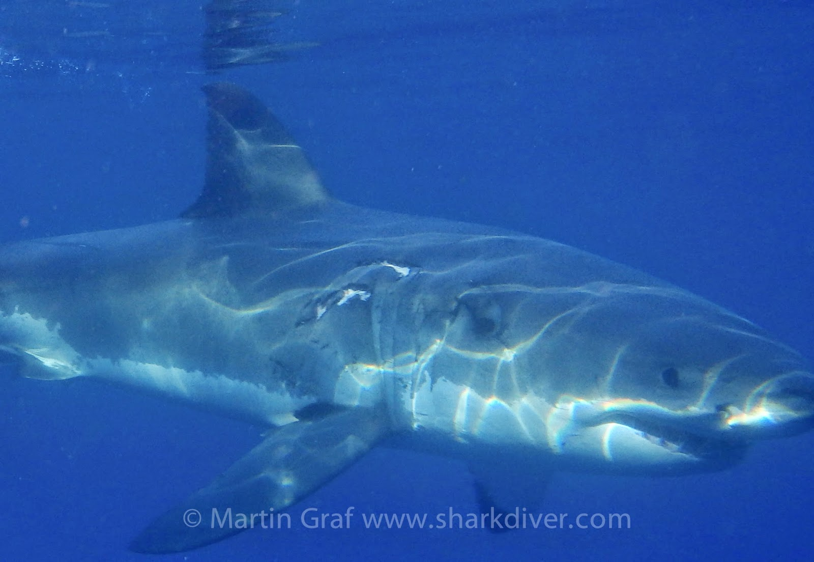 great white shark shark diver these pictures all show great white sharks bite marks from their own kind it is rare to see an adult great white shark that doesn t have some kind of