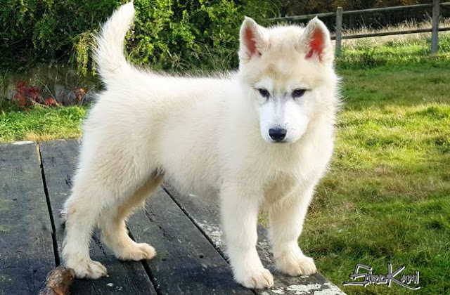 cachorro husky siberiano gris