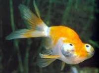 Jenis Ikan Koki mata teleskop