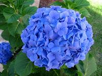 A floração dura do início do verão ao início do inverno, persistindo até à queda das folhas, mas com o seu máximo no final da primavera. Produz múltiplas flores em cores que variam do fúcsia claro ao rosa púrpura e ao azul.