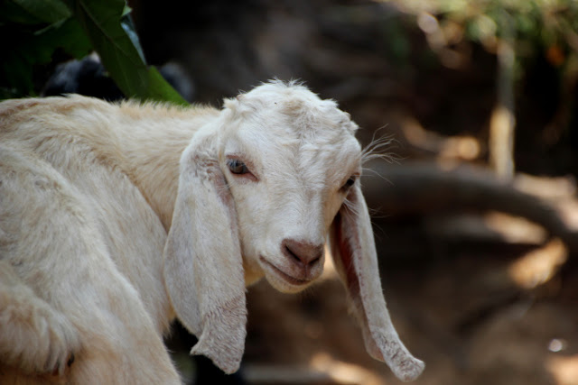 mountain-goat-nepal-white-ears
