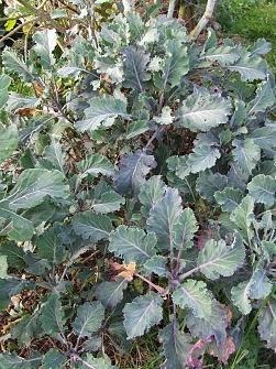 Wild cabbag