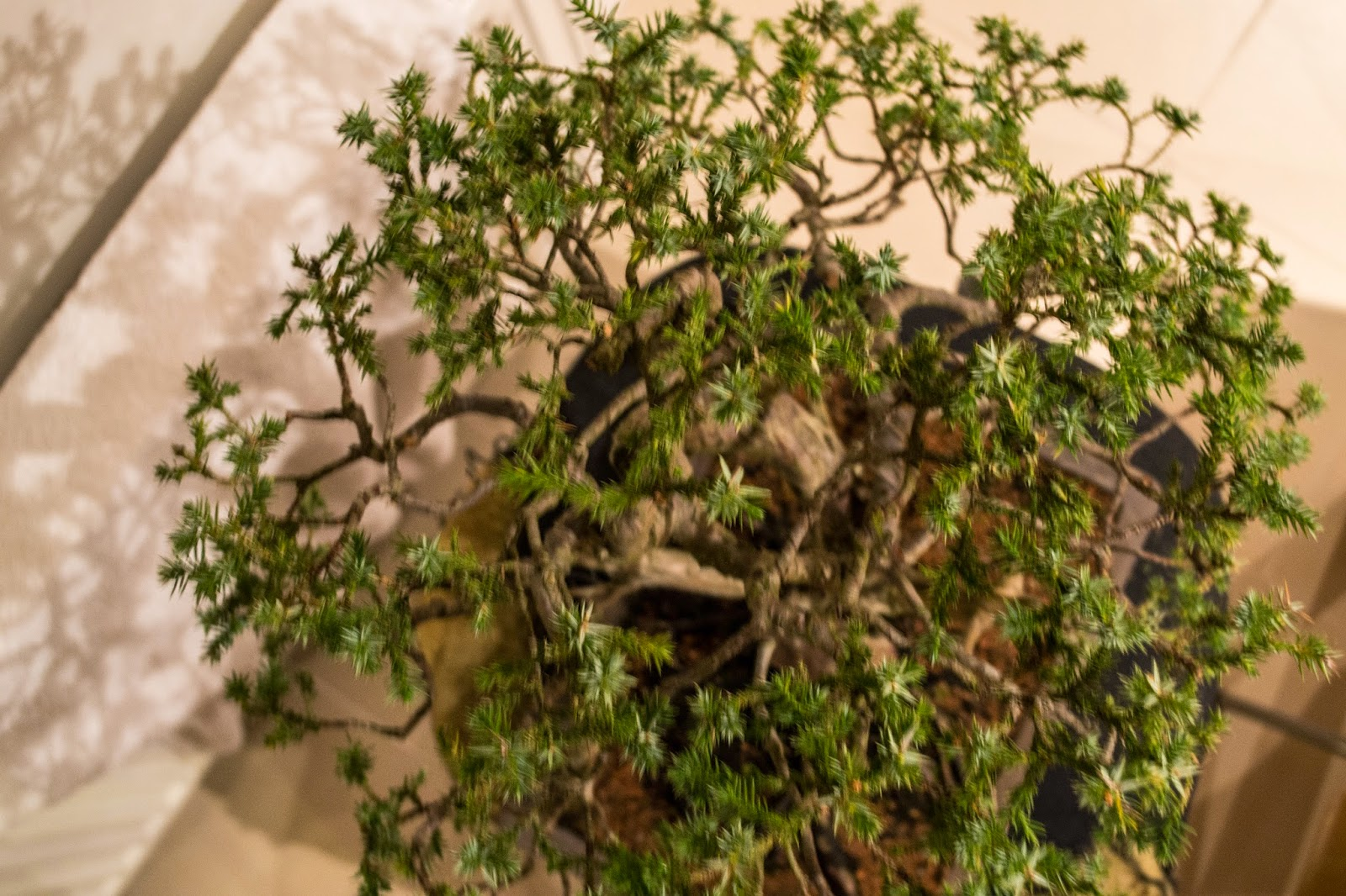 Dj Bonsai Juniperus Squamata Meyeri Pt3 Wiring Juniper Tree What We Are Doing Here Is Leaving The Foliage That Investing Energy In Developing To Retain Vigour While Clearing A Space For Light Help