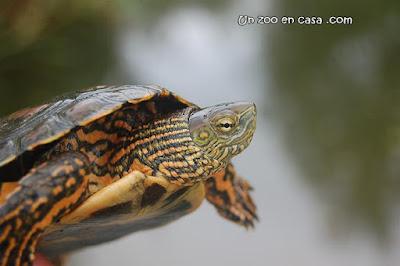 Detalle de un macho de galápago leproso