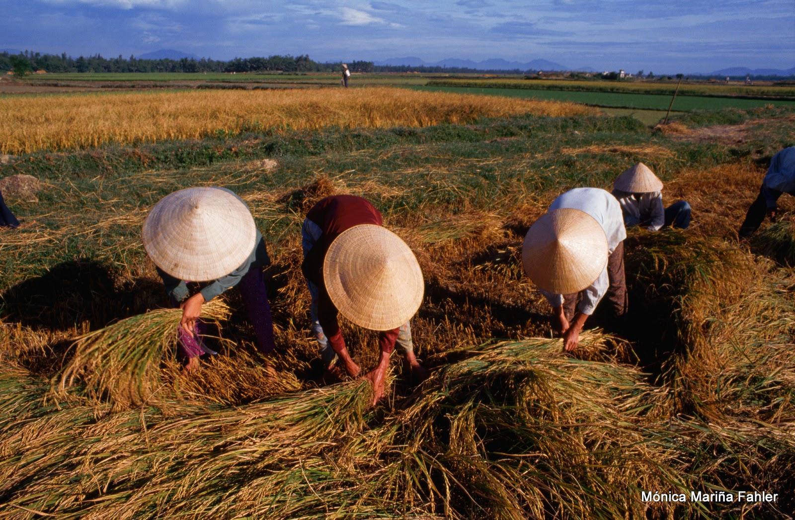 ... suelen verse muchos campos sembrados de arroz y vislumbramos a  campesinos inclinados sobre ellos con sus clásicos sombreros de paja 1a2359d9f34