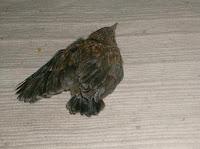 uccellino con ala ferita