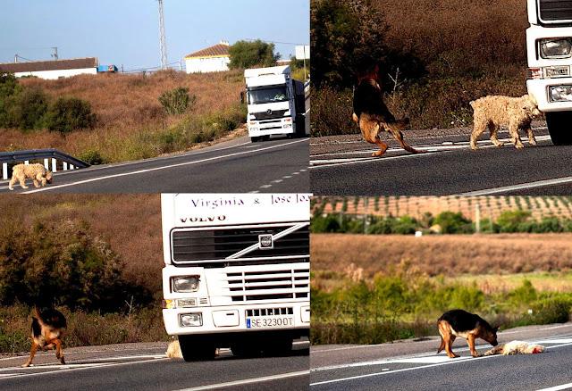El triste momento llega y un camión atropella al perrito. La muerte, encarnada en un monstruo de hierro, le parte la cabeza al animal dejándolo con la cara desfigurada y desangrándose en la carretera. Es uno de los momentos más duros que me ha tocado vivir.
