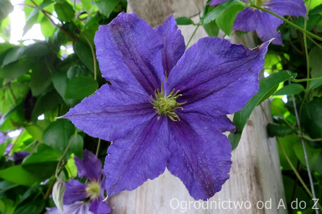 Clematis 'Harlow Carr'