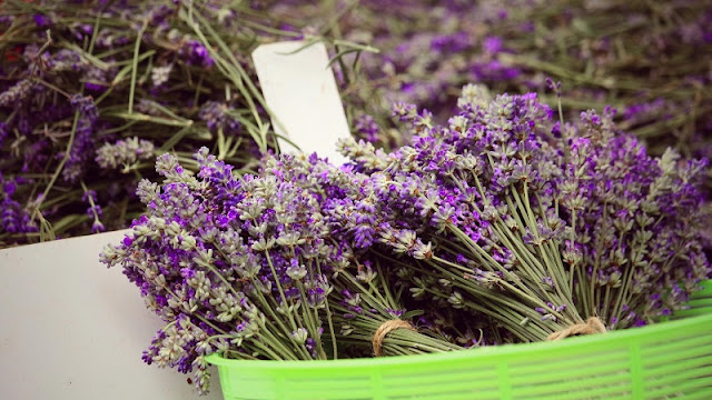 Saigonese create lavender paradise in Da Lat 4