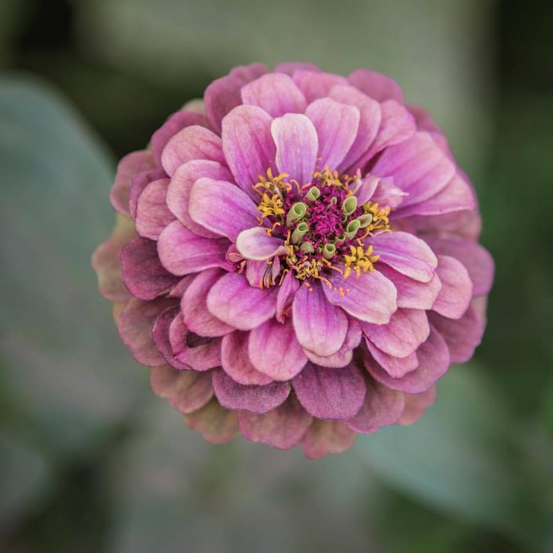 primer plano flor zinia color rosa