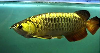 ikan arwana cantik