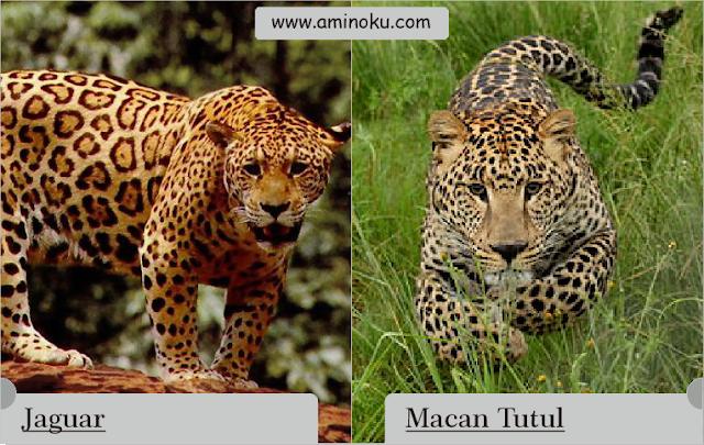 perbedaan antara jaguar dan macan tutul