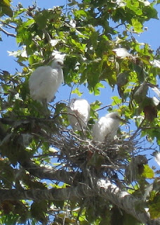 Snowy Egret with two chicks in a nest, Mountain View, California