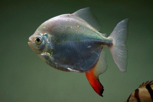 Ikan Predator