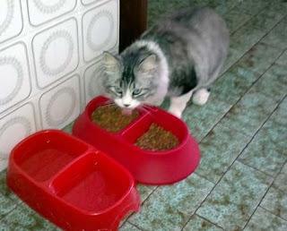 gato-alimentación-pienso-agua-fresca