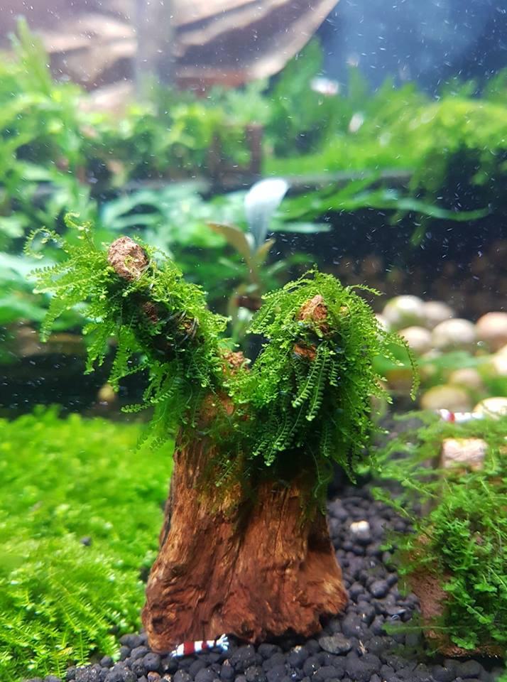 Rêu thủy sinh Cameroon trên lũa