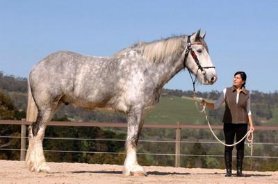 european horse