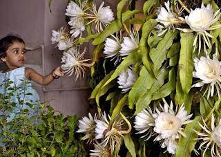 bunga Bwijayakusuma