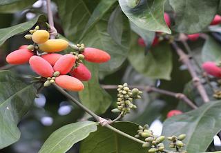 Manfaat buah dan daun melinjo