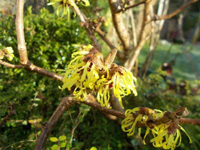 Hamamelis Witch hazel Cutting back perennials Green Fingered Blog