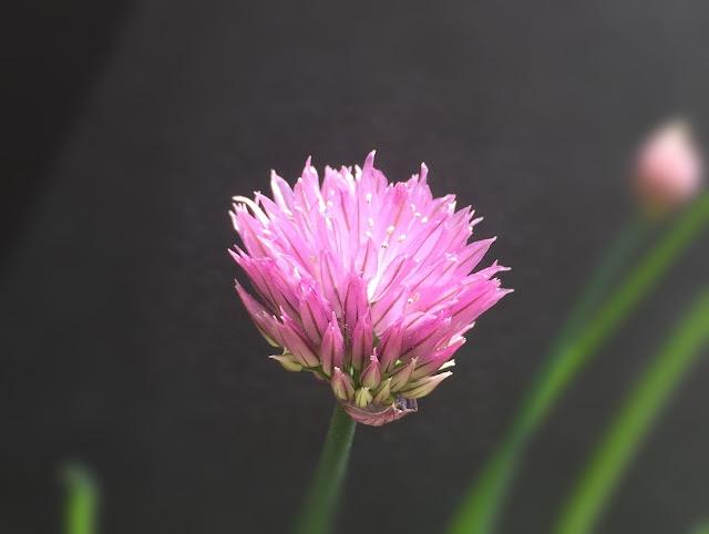 Blühender Schnittlauch lila