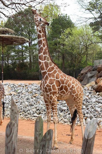 berry dakara, atlanta, zoo, zoo atlanta, travel atlanta, discover georgia, atlanta tourist, giraffe