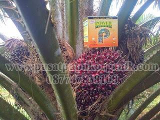 cara memperbanyak buah kelapa sawit