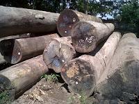Batang pohon kayu ulin