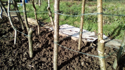 Bean poles and pea sticks 80 Minute Allotment Green Fingered Blog