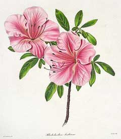 Azalea (Azalea indica ou Rhododendrum indicum)