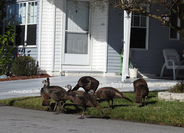 Wild turkeys gathering on a neighbour's front yard.