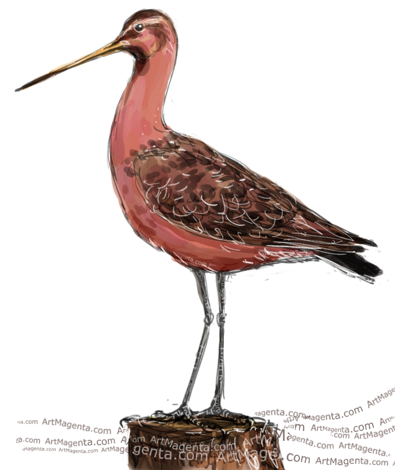 Bar-Tailed Godwit sketch painting. Bird art drawing by illustrator Artmagenta