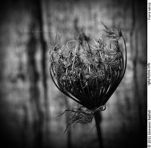 Fiore secco in bianco e nero