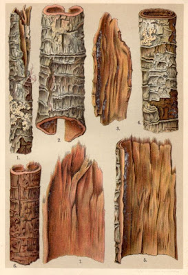 antique image of bark from the Cascarilla tree