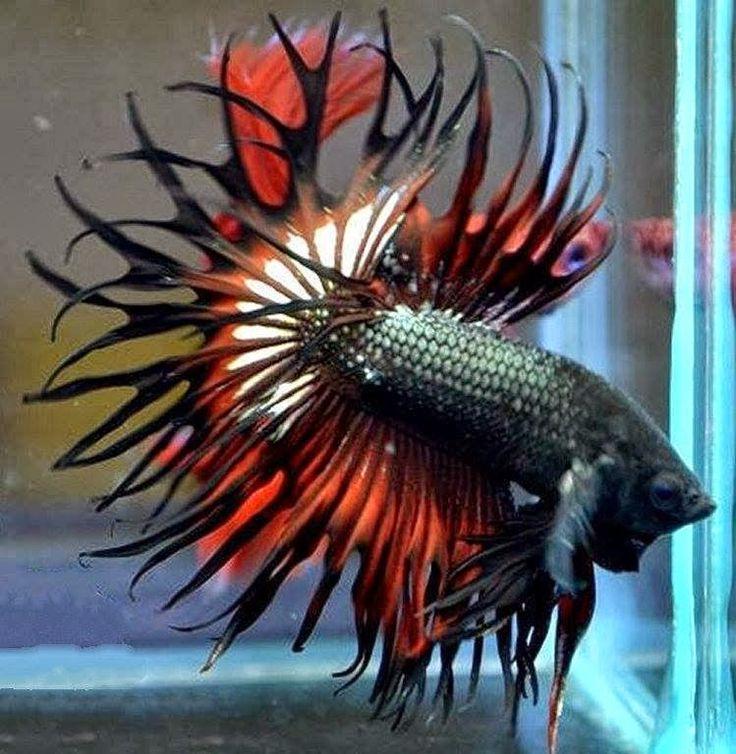 Buktikan ! Ini Ikan Cupang Terbesar Di Dunia Yang Bikin ...