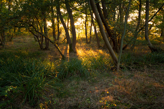 Cambridgeshire woodland in the warm evening light