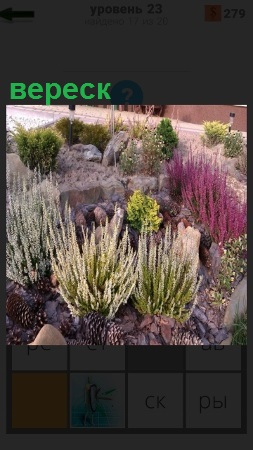 На клумбе растет красивое растение вереск разного цвета