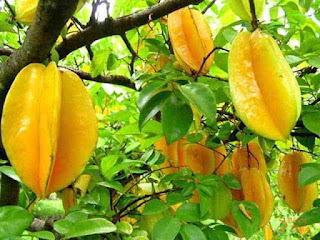 merupakan buah yang kaya akan kandungan serat dan nutrisi ibarat karbohidrat Manfaat Buah Belimbing Untuk Kesehatan