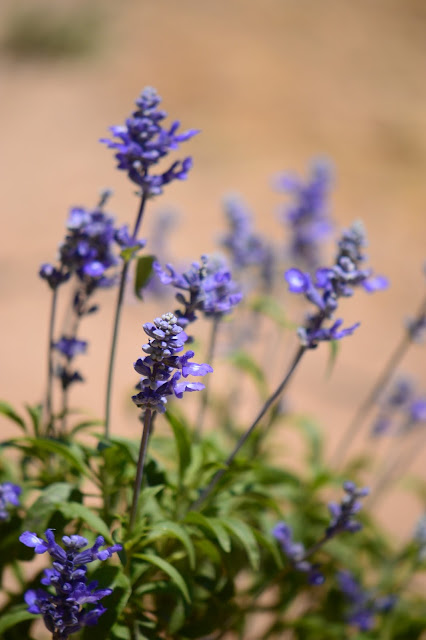 salvia farinacea, small sunny garden, garden bloggers bloom day, amy myers, desert garden