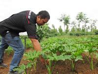Budidaya tanaman philodendron & peluang bisnis menjanjikan