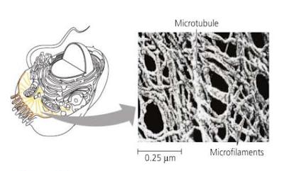sitoskeleton, mikrotubul, mikrofilamen